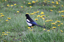 22 Elster/Magpie