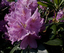 53 Rhododendron