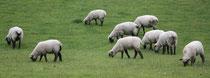 6 Schafe grasen/Sheeps browse