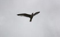 180 Seemöwenflug/Seagull flight