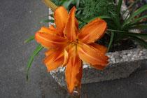 101 Tulpen/Tulips