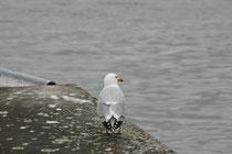186 Seemöwe/Seagull