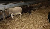 35 Schafe+Lämmer/Sheeps+Lambs