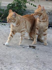 68 Zwei Katzen/Two cats
