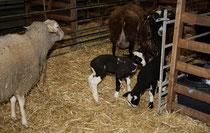 55 Schafe+Lämmer/Sheeps+Lambs