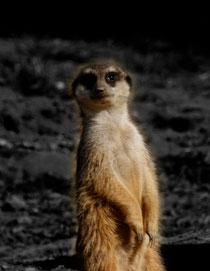 1 Erdmännchen/Meerkat