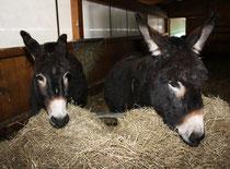 64 Esel/Donkey