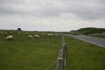19 Schafe grasen/Sheeps browse