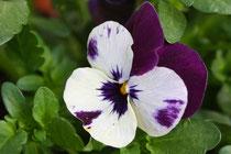 51 Weiß/lila Stiefmütterchen/White/Purple pansy