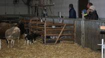 54 Schafe+Lämmer/Sheeps+Lambs