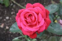 111 Rose/Rose