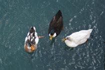 30 Enten/Ducks