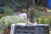 3 Spatzen beim Baden/Sparrows bathing