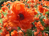 47 Klatschmohn/Poppy