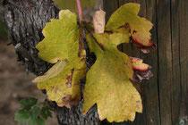 35 Weinblatt/Vine leaf