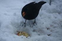 127 Amsel mit Apfel/Blackbird with appel