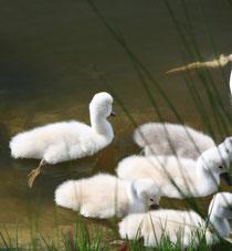 158 Schwankücken/Chicks of a swan
