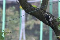 111 Der Specht/ The woodpecker