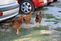35 Hühner/Chicken