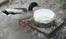 51 Erpel/Duck