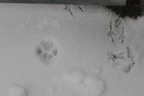 117 Spuren im Schnee/Animal one's mark