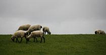 24 Schafe grasen/Sheeps browse