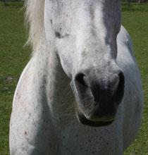 8 Pferdenase/Horse nose