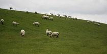 28 Schafe grasen/Sheeps browse