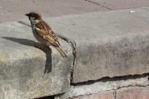 10 Spatz auf der Suche nach Nahrung/Sparrow in search of food