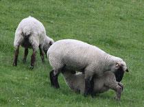 12 Ein Schaf säugt/A sheep suckles