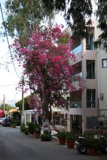 162 Geranienbaum/Geranium tree