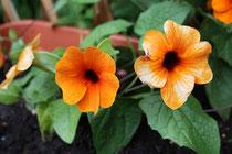 11 Blume schwarze Susanna/Susanna flower black