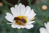 40 Magerite mit Biene/Daisies with bee