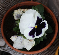 156 Weiße Stiefmütterchen/White pansies