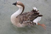 16 Gans/Goose