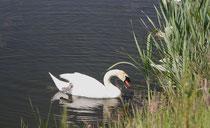 168 Ein Schwan/A swan