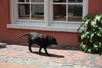 8 Labrador-Retriever
