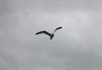 179 Seemöwenflug/Seagull flight