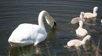 160 Schwanfamilie/Family of swans