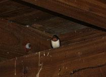 193 Schwalbe/Swallow