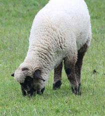 16 Ein Schaf grast/A sheep browses