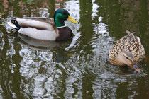 16 Enten im Garten/Ducks in a garden