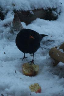 116 Amsel mit Apfel/Blackbird with appel