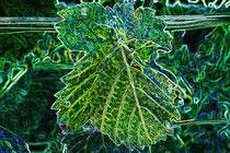 3  Leuchtendes Weinblatt/Luminous vine leaf