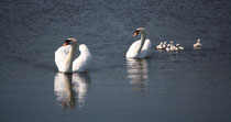 151 Schwanfamilie/Family of swans