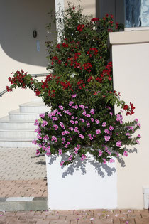 136 Blumen in Griechenland/Flowers in Greece