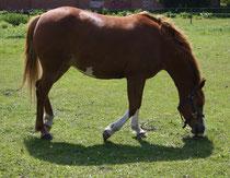 4 Pferd auf einer Weide/Horse on a meadow