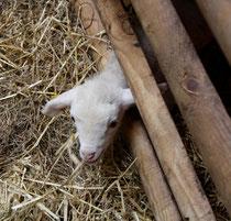 58 Lamm/Lamb