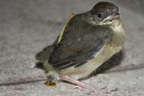 4 Amselkücken/Blackbird chicken