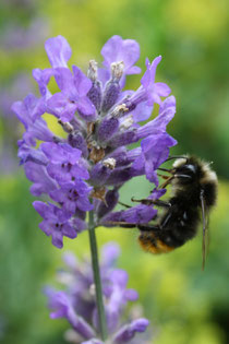 5 Lavendelblüte mit Hummel/Lavender flower with a bee